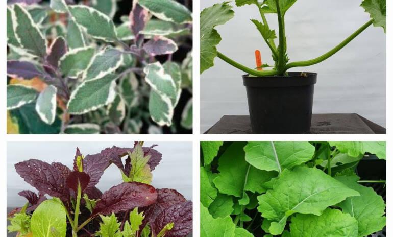 Vegetable Seedlings & Herbs